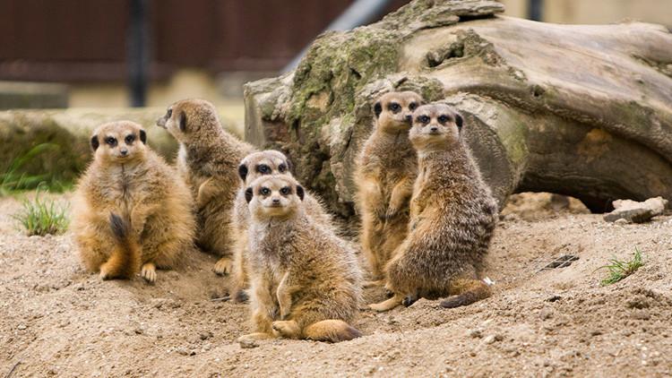 Descubren cuáles son los mamíferos más violentos, y no son los humanos