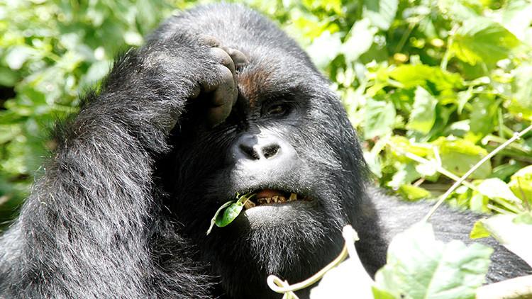 Buenas noticias para los pandas, malas para los gorilas