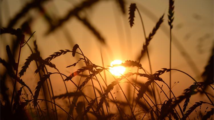 """Putin: """"2016 será el mejor año de cosecha de grano en la historia de la Rusia moderna"""""""