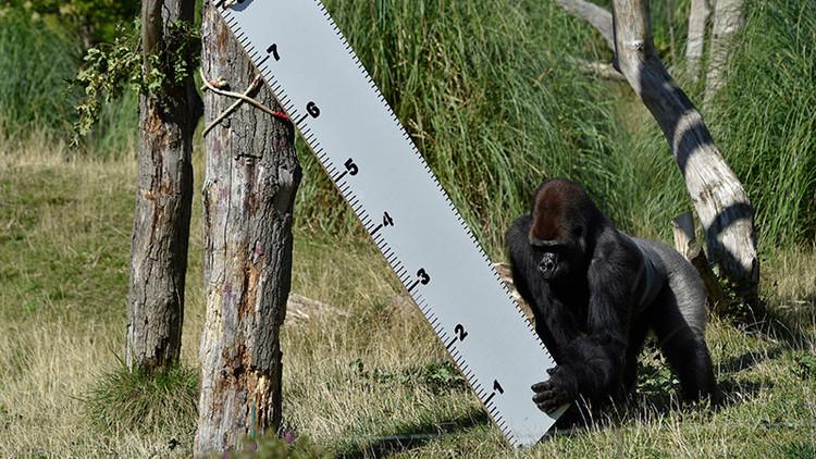 Una gorila se escapa de su jaula y desata el pánico en el zoo de Londres