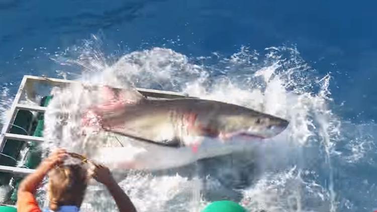 México: un tiburón se mete en una jaula donde había un buzo y esto es lo que sucede (VIDEO)