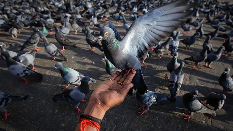 India detiene a 150 palomas en la frontera con Pakistán bajo sospecha de espionaje