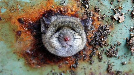 Una rata asoma la cabeza por un agujero en la parte inferior de un cubo de basura en el barrio de Brooklyn de Nueva York, EE.UU.