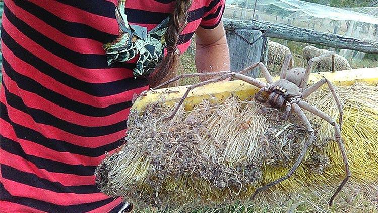 Foto escalofriante: ¿Es la araña más grande que se haya fotografiado jamás?