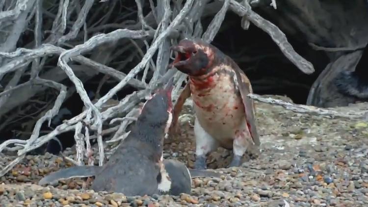 Pingüino halla a su