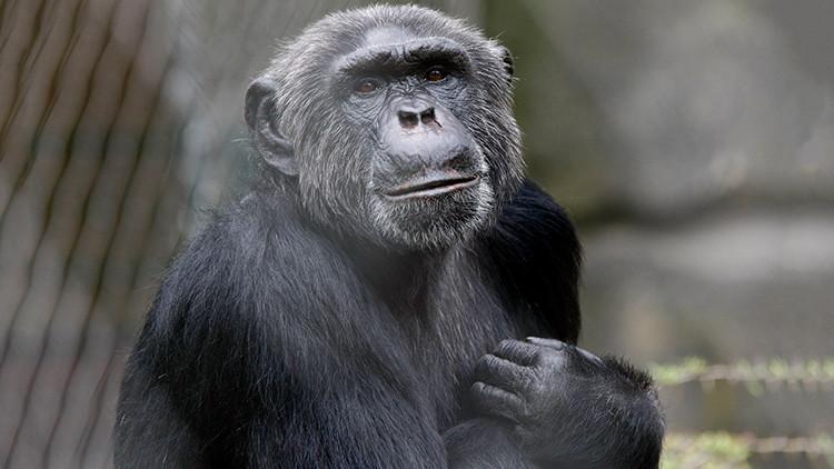Histórico: Liberan a una chimpancé de un zoológico argentino por orden judicial
