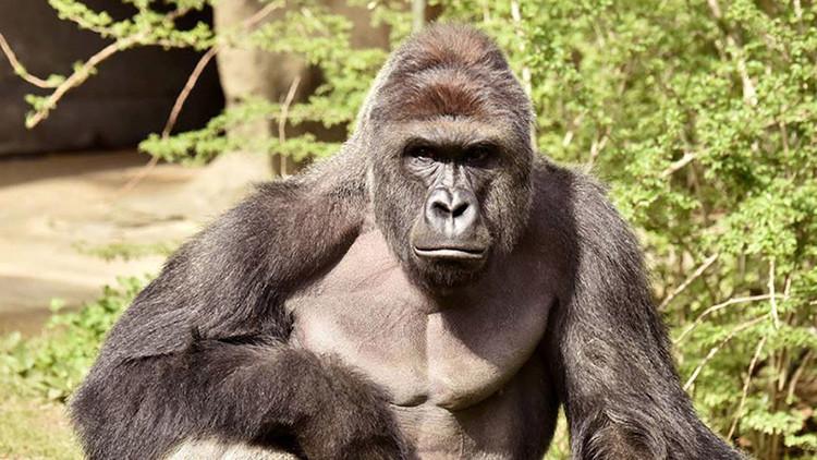 Más de 10.000 personas votaron por un gorila muerto en EE.UU.