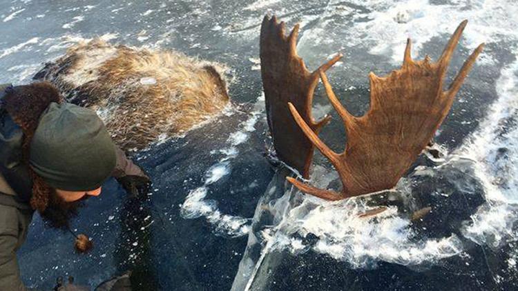Fotos: Hallan dos alces congelados en un río de Alaska