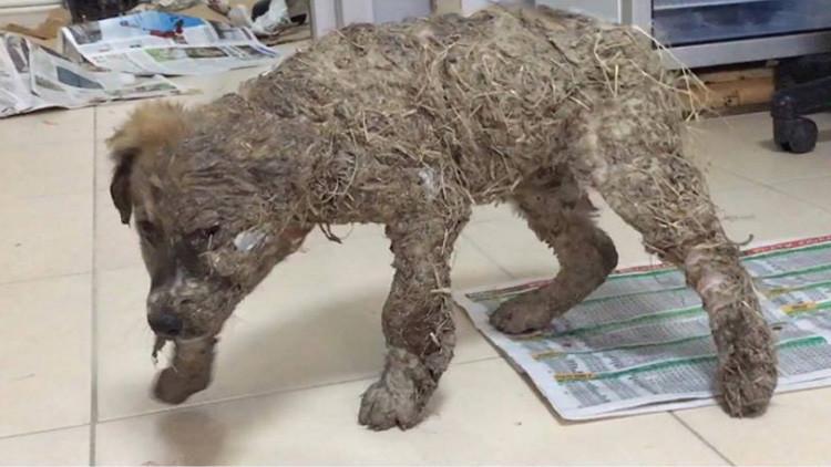 Fuertes imágenes: Un perro sobrevive a un 'baño' de pegamento y barro que casi lo petrifica