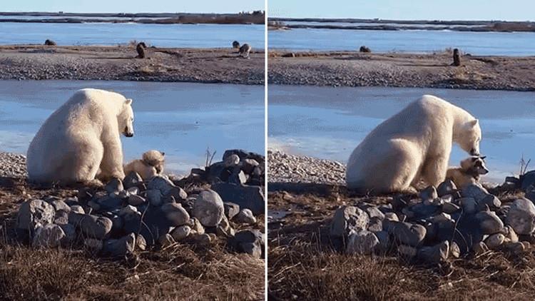 La triste realidad detrás del video de un oso polar que acaricia a un perro de trineo