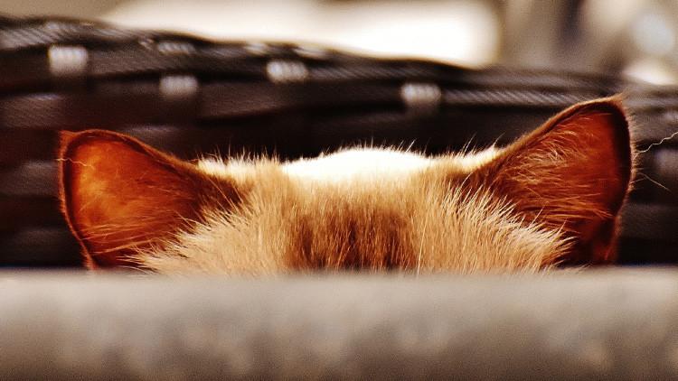 Presentan en Rusia un raro felino que cuesta más de 23.000 dólares (VIDEO)