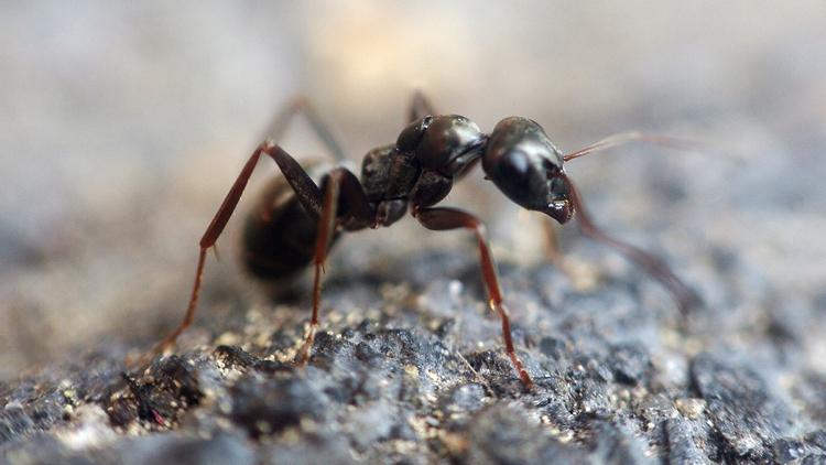 Unas hormigas que crean 'supercolonias' pueden estar preparando una invasión mundial