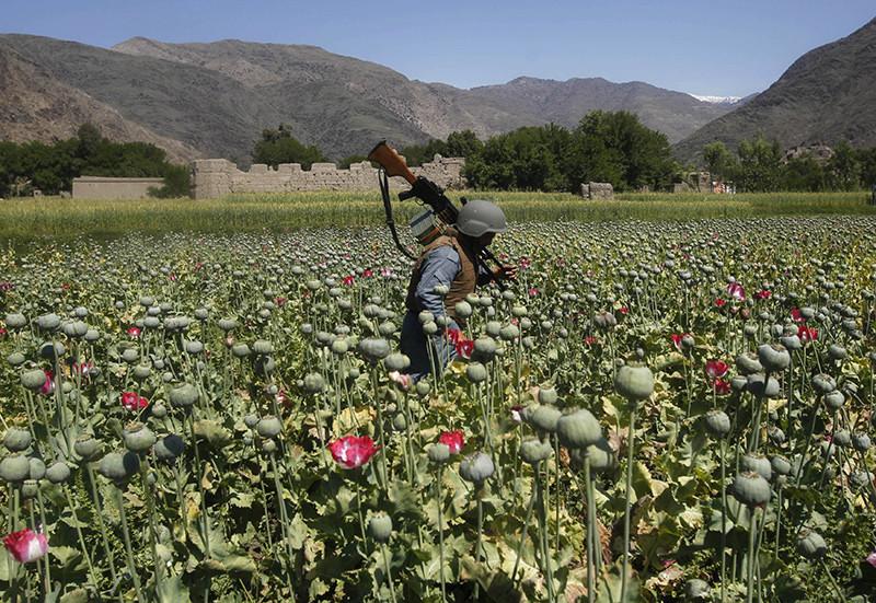 Policías afganos destruyen cultivos de amapola, que se utiliza en la producción de drogas
