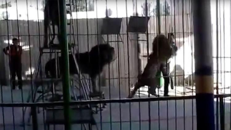 Un león de 200 kilos ataca fatalmente a un domador durante una actuación (VIDEO)