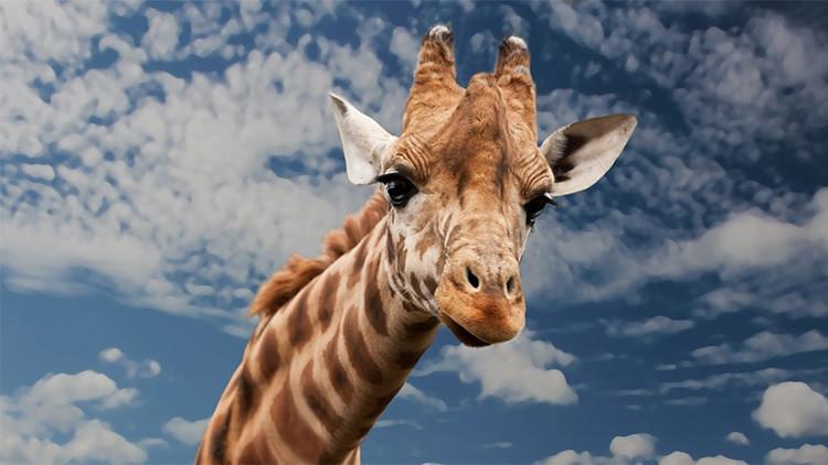 Un espectacular video muestra a una jirafa defendiéndose del insólito ataque de un grupo de leones