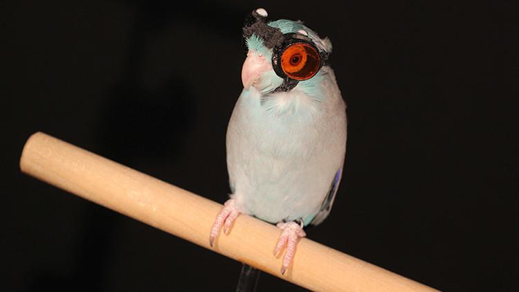 Un perico con anteojos ayuda a descubrir un nuevo fenómeno físico (VIDEO)