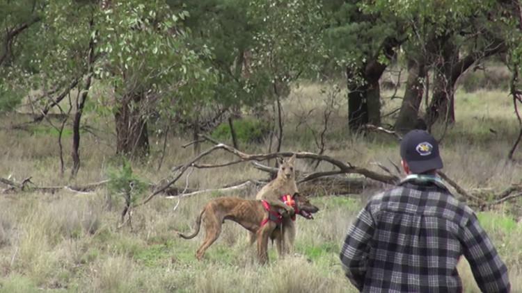 El empleado de un zoo australiano que golpeó a un canguro para salvar a su perro no será despedido