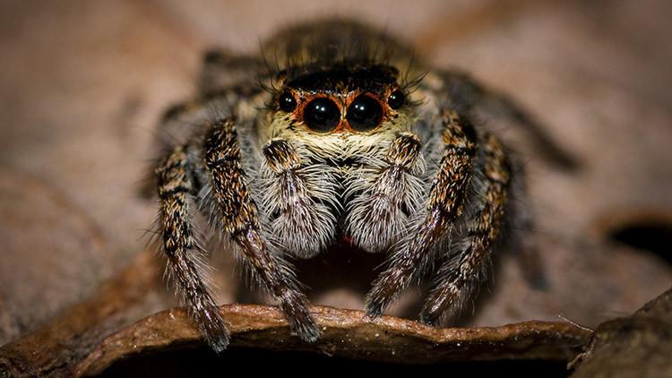 Arañas voladoras: descubren cuatro especies de arañas capaces de viajar sobre el océano (Foto)