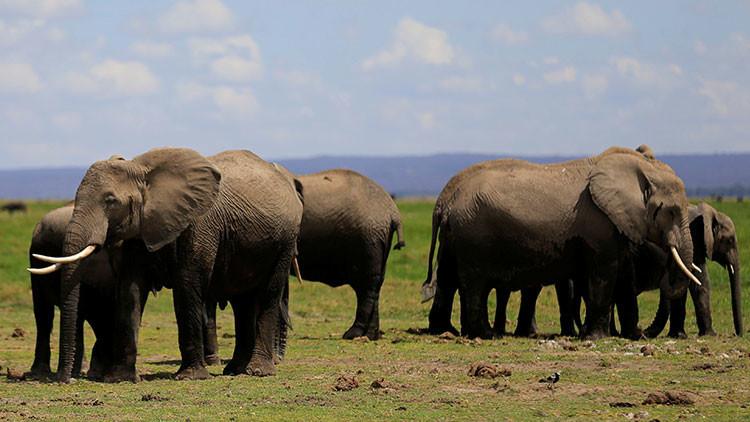 La caza furtiva provoca una grave mutación genética a los elefantes africanos