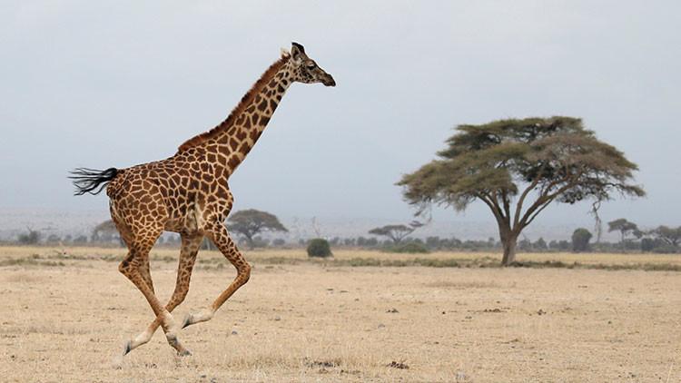 """""""Extinción silenciosa"""": Imagina un mundo sin jirafas"""