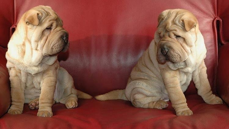 """Primer perro clonado en Argentina: Una familia decide """"hacer una réplica"""" de su mascota favorita"""
