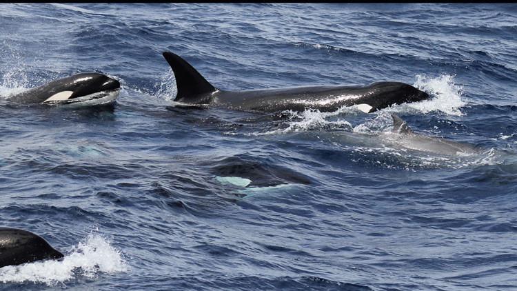 FUERTES IMÁGENES: Captan por primera vez cómo las orcas cazan y matan a una rara especie de ballena
