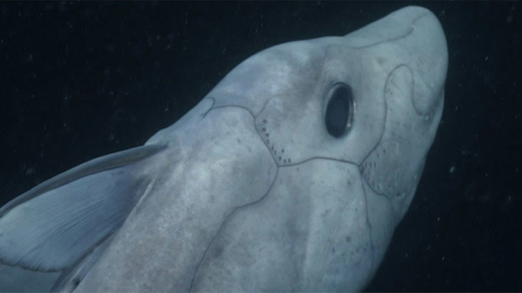 Video: Fascinantes imágenes del 'tiburón fantasma', una criatura más antigua que los dinosaurios