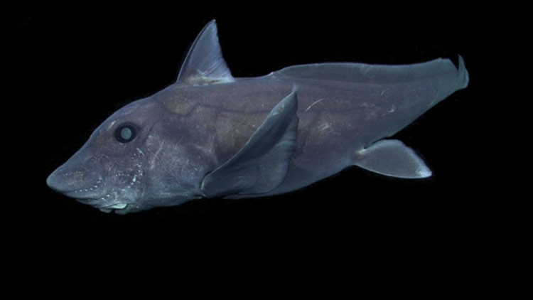 VIDEO: Graban por primera vez a un tiburón más antiguo que los dinosauros