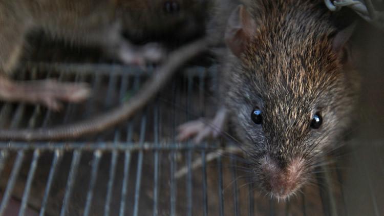 Bebé fue comida viva por ratas gigantes mientras su madre estaba de fiesta