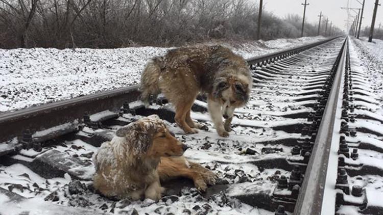 VIDEO: Un perro protege de trenes en marcha a su compañera herida en las vías durante dos días