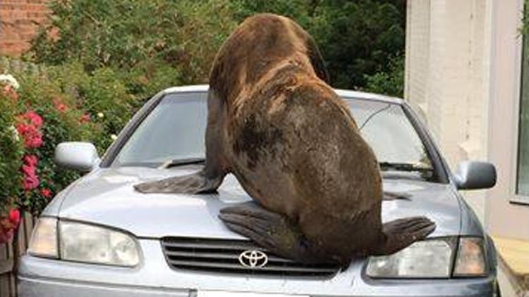 Un día normal en Australia: Un enorme lobo marino recorre Tasmania y 'aplasta' un auto (FOTOS)