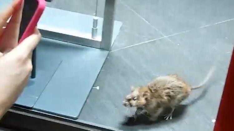 Filman una rata enorme en una conocida tienda de ropa