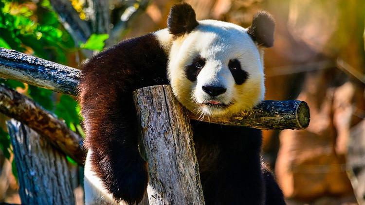No siempre son tan entrañables: Una osa panda hiere de gravedad a un conservacionista chino