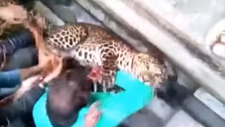 Leopardo irrumpe en una ciudad india y ataca a más de 20 personas (VIDEO)