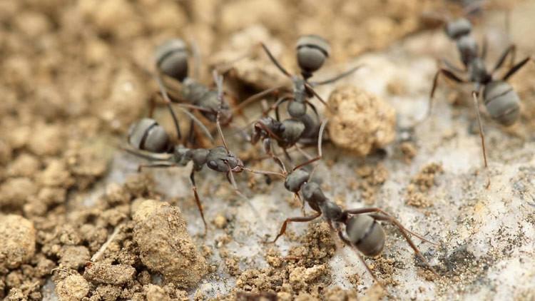 Bolivia: muere una mujer tras ser atada a un palo lleno de hormigas venenosas