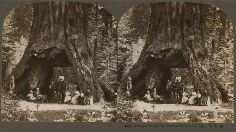 EE.UU.: Cae por las lluvias el milenario y gigantesco 'árbol del túnel' (FOTO)