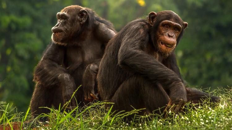 Monos lamentan 'la muerte' de un bebé robot en un nuevo documental de la BBC