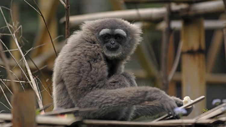 Una nueva especie de primate recibe el nombre del protagonista de 'La guerra de las galaxias' (FOTO)