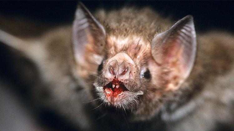 Estudio demuestra que el murciélago vampiro desarrolló el gusto por la sangre humana
