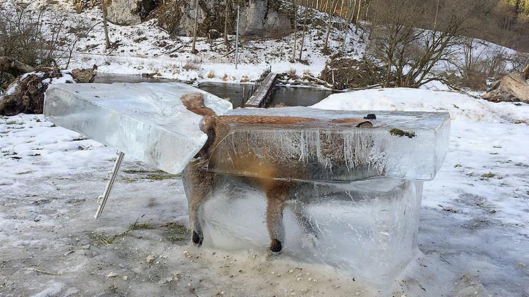 La foto de un zorro congelado en un bloque de hielo se vuelve tendencia en las redes