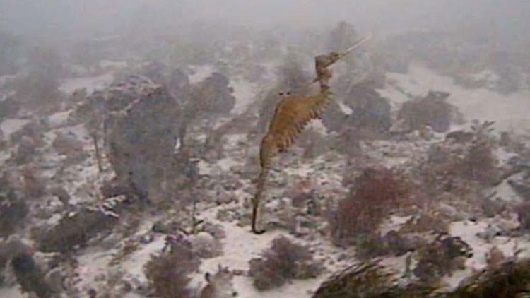 'Rubí' del mar: Filman por primera vez una rara especie de dragón marino (Video)