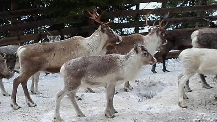 Llevan a preescolares noruegos a ver cómo sacrifican y despellejan renos