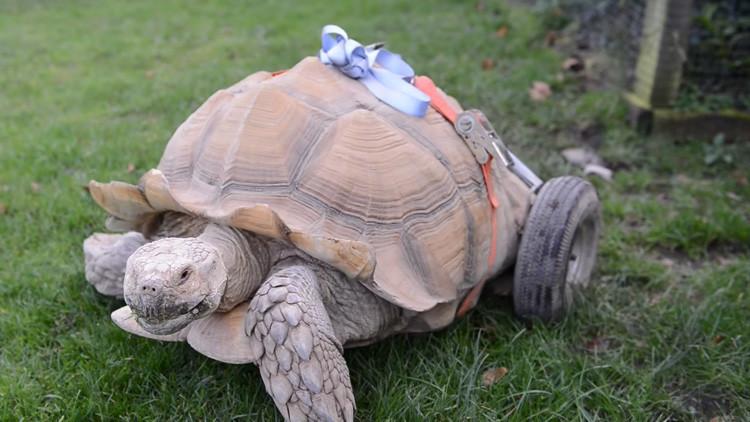 Dos meses de 'desenfreno sexual' dejaron a esta tortuga discapacitada