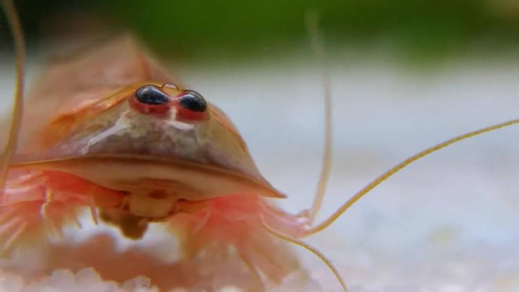 Video, fotos: Un crustáceo prehistórico 'revive' tras una fuerte lluvia en Australia