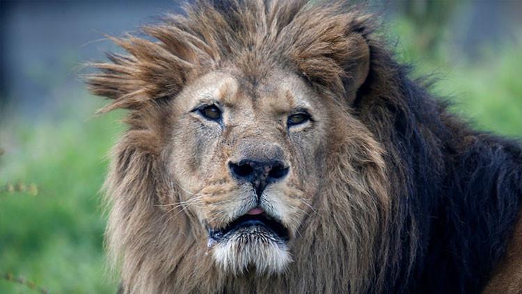 Tres leones atacan y matan a dos personas en Jordania