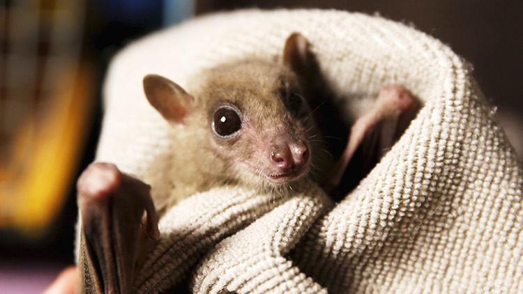 Murciélagos vampiros han empezado a desarrollar el gusto por la sangre humana
