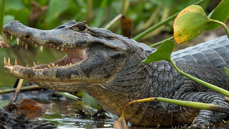 Graban monstruoso caimán paseándose tranquilamente en Florida, EE.UU. (VIDEO)