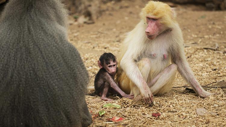 Revelan la causa de infanticidios y abortos inducidos entre babuinos