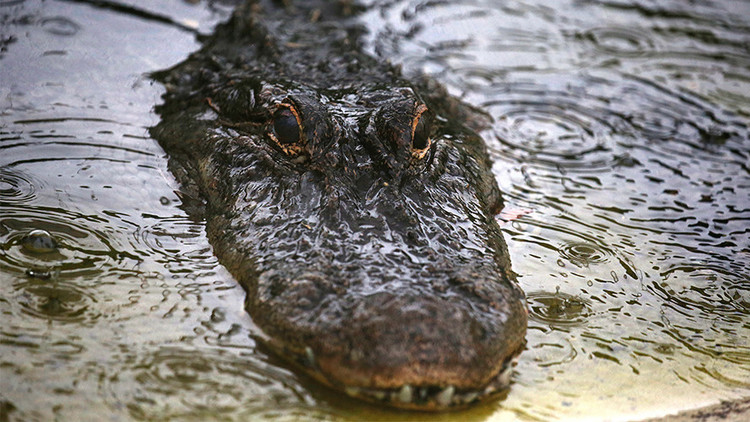 Ataque en directo: un gran caimán se lanza sobre un barco turístico