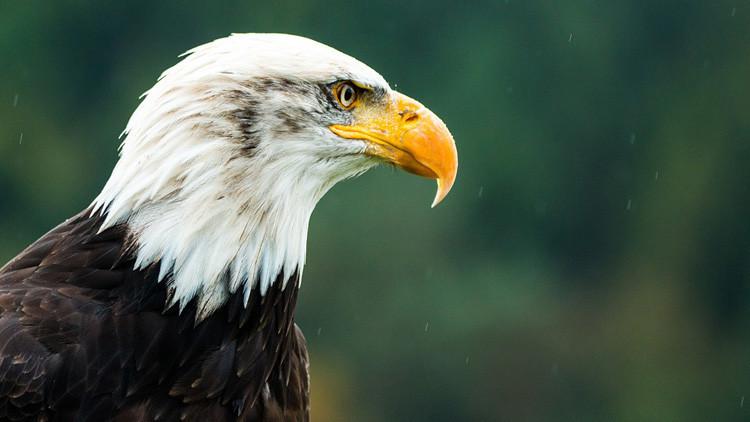 ¿Es una metáfora del país?: La foto de un águila 'meditativa' desata una ola de memes en EE.UU.